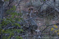 """Black-tailed Jackrabbit • <a style=""""font-size:0.8em;"""" href=""""http://www.flickr.com/photos/63501323@N07/23158826656/"""" target=""""_blank"""">View on Flickr</a>"""