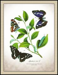 4672 GroLept Apatura iris L. Velika modra preljevica AMN (Morton1905) Tags: iris l amn velika modra 4672 apatura groslept preljevica