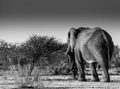 Elephants walk (www.MiPHO.de - Michael Schwarz Photography) Tags: bw elephant face canon michael award afrika sw elefant kontrast namibia schwarz etosha thelook autofocus mipho südwestafrika bwphotographyforrecreation rainbowofnature wwwgsmotorradreisende