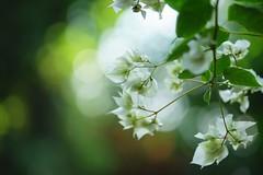ブーゲンビレア /Bougainvillea spectabilis (nobuflickr) Tags: flower nature japan kyoto bougainvillea 日本 花 bougainvilleaspectabilis thekyotobotanicalgarden ブーゲンビレア 京都府立植物園 awesomeblossoms 筏葛 オシロイバナ科イカダカズラ属 20151212dsc04975
