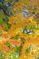 IMG_1683 (CBR1000RRX) Tags: 650d canon taiwan travel tourist landscape maple leaf autumn