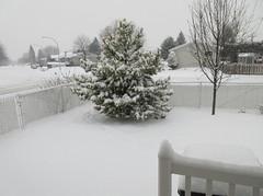 ** Il a neigé...il neige...il neigera...** - 1/4 (Impatience_1 ( Peu...ou moins présente... )) Tags: 12décembre2016 neige snow clôture fence arbre tree m impatience pin pine sorbier saveearth supershot coth sunrays5 coth5 fantasticnature abigfave paysage landscape