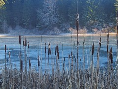 blue reed (michaelmueller410) Tags: harz oberharz winter schilf teich wasser see lake pond peacock reed schilfkolben