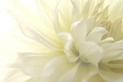 chastely/ (kurupa_m) Tags: dahlia white flower plant xt10