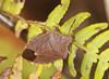 Common Green Shieldbug - Palomena prasina (Prank F) Tags: insect macro closeup bug shieldbug rspb thelodge sandy bedfordshireuk wildlife nature common green palomenaprasina