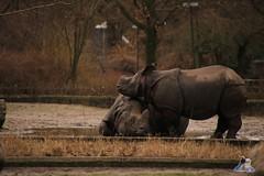 Tierpark Berlin 26.12.2017 090 (Fruehlingsstern) Tags: eisbär polarbear wolodja rothund nashorn stachelschwein tierparkberlin canoneos750 tamron16300