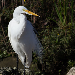 IMG_9126A Great Egret (cmsheehyjr) Tags: cmsheehy colemansheehy nature wildlife bird egret greategret sweetwater gainesville florida ardeaalba