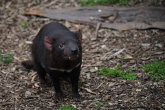 Tasmanian Devil (tassiedevil96) Tags: australia healesville sanctuary zoo victoria tasmanian devil tassie