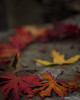 Fall Colors (Euphoregon) Tags: fall leave orange red yellow autumn stone maple portland pdx oregon