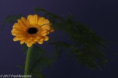 "In our livingroom, Gerbera ""Bison Gold"" (A.J. Boonstra) Tags: flower flowers indoor bluebackground macro closeup gerbera gerberabisongold falconeyessoftboxumbrella jinbeidiffusionjumboumbrella falconeyesskk2150d ef100mmf28lmacroisusm canon70d canon canoneos"
