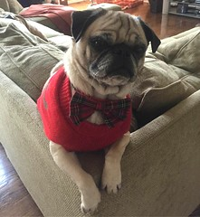 Spanky Christmas 2016 (Chica-tica) Tags: spanky pug christmas picmonkey