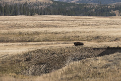 "Bison • <a style=""font-size:0.8em;"" href=""http://www.flickr.com/photos/63501323@N07/31746383373/"" target=""_blank"">View on Flickr</a>"