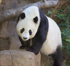 The lovely Bai Yun (Rita Petita) Tags: baiyun sandiegozoo sandiego california china pandas giantpanda specanimal explore