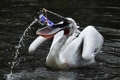 Red Bull gives you wings ?????? (K.Verhulst) Tags: pelikaan kroeskoppelikaan birds vogels vogel blijdorp blijdorpzoo diergaardeblijdorp rotterdam dalmatianpelican