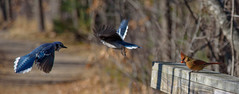 DSC_9426 (Beth Rizzo) Tags: nature wildlife birds flight wings avian heron blueheron cardinal bluejay sparrow titmouse winged newengland