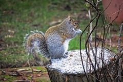 breakfast on a frosty stump (rich wich) Tags: squirel stump frosty breakfast