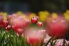 Tulips (Diego Chiu) Tags: tulips 桃源仙谷 鬱金香 fe gm bokeh flower sel70200gm sony tulip pink