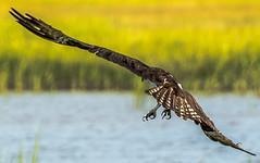 Talons (Daveyal_photostream) Tags: osprey beautiful beauty birds nikon nikor nature flight fly talons meandmygear mygearandme mycamerabag motion movement water waterscape shore tallgrass animal d600 outdoor