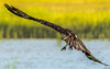 Talons (Daveyal_photostream) Tags: osprey beautiful beauty birds nikon nikor nature flight fly talons meandmygear mygearandme mycamerabag motion movement water waterscape shore tallgrass animal d600 outdoor