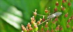 "7aaaool-insect.dansmug-9-6-16-vennetje-k.vliet-leiden-(n.D90-105m vr-r.f) (""HansFfloraFauna"" - j fidom) Tags: dansmug mug musquito dans closeup insect"