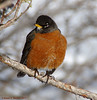 Fluffy Robin (walkerross42) Tags: robin bird juniper cedar bearlake utah winter feathers wildlife snow