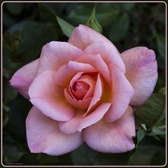 Omaggio alla Befana - Tribute to the Befana (Marco Ottaviani on/off) Tags: natura nature piante plants rosaceae rosa fiore flower omaggio tribute befana canon marcoottaviani