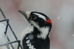 DSC_0047 (hickamorehackamore) Tags: 2017 ct connecticut downywoodpecker haddam nwf backyard certified habitat male suet suetfeeder wildlife winter woodpecker