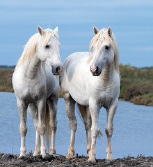 2016 Two Camargue Stallions (33) (maskirovka77) Tags: saintlaurentdaigouze languedocroussillonmidipyrén france languedocroussillonmidipyrénées fr stallion stallions whitehorse whitehorses whitestallion whitestallions createaway photoworkshop