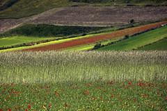 _UM14008s_filteredR (Foto Massimo Lazzari) Tags: fioritura lenticchie papaveri fiordaliso fiori