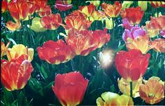 тюльпаны (a_salnikova) Tags: flowers film tulips crimea spring тюльпаны весна крым цветы пленка