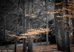 Down amongst the trees (judy dean) Tags: judydean 2017 sonya6000 trees batsford arboretum cotswolds leaves winter selectivecolour