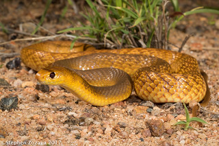 Northern brown snake (Pseudonaja nuchalis)
