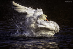 Shake it off! (Dave Cappleman - inspired by your work!) Tags: swan droplets movement preening bright light sun water muteswan mere scarborough wildfowl wild bird naturethroughthelens ngc specanimal specanimalphotooftheday