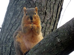 A safe place for a hungry squirrel into people watching. (kennethkonica) Tags: nature canonpowershot summer global random hoosiers marioncounty midwest america usa indiana indianapolis indy colors animaleyes animal outdoor c squirrel tree wildlife wild rodent stare bestshotoftheday bark