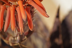 Algarve Spring (L. Köbe) Tags: algarve portugal spring frühjahr natur plant composition harmonie warm tamron sony alpha a58 pflanze unterwegs europa macro