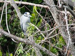 Yellow-crowned Night-heron (larryyorknh) Tags: birds floridakeys