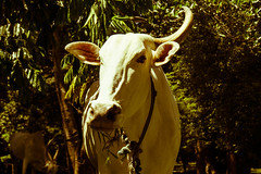 Are ya talking to me? (MissKathySunshine) Tags: cow bullock ox animal horn sceptical wildlife nature sri lanka