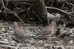 Eared Dove (Zenoida auriculata) 1 012817 (evimeyer) Tags: eareddove zenaidaauriculata torresdelpaine chile