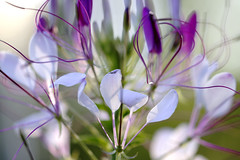 Thoughts of Spring (Bored Koi) Tags: canon flower cleome spring