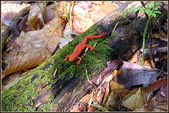 Our colorful little salamander (edenseekr) Tags: newt salamander nystate amphibians woodland wildlife