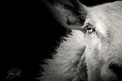 Half the story... (AnthonyCNeill) Tags: sheep ovine oveja closeup animal portrait blackandwhite blancaynegra blancetnoir eye hairs schwarz weiss blanco negro woolly farm outdoor nikon d7200 tier schaf