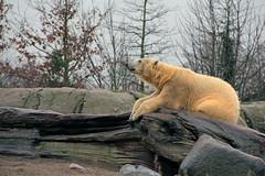 Urso Polar_Zoologico de Rotterdam - Holanda. (ludiespanguer) Tags: eurotrip europa europe viajar viagem rotterdam urso polar zoo zoologico