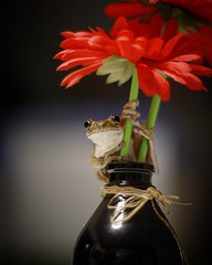 Frog on artificial flower (mikehuntsterdy) Tags: macro lifestyle animals wildlife canon photographer photo happy slimy amphibian reptiles flowers flower frog nature