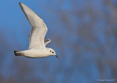 Bonaparte's Gull (Danielirons02) Tags: nikon nikon300mmf4 nikond610 nikontc14 bonapartsgull gull md queenannescountymd queenannescounty maryland 2017