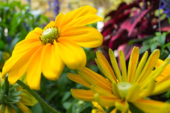 Convex/Concave (lostcat_photos) Tags: flowers yellow closeup notrealmacro