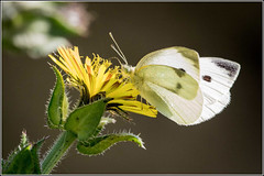 Large White Butterfly (F)  Pieris brassicae (Smudge 9000) Tags: summer england kent unitedkingdom wildlife reserve gb oare 2015 kwt oaremarshes