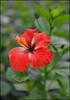 Red Hybiscus (Rob Millenaar) Tags: red flower hawaii dof bokeh bigisland hybiscus