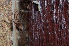 Someone's put baby in the corner (Procrustes2007) Tags: uk england macro spider suffolk britain wildlife arachnid flash nikond50 sudbury closeuplens wildlifephotography steatodanobilis falsewidowspider afsnikkor1855eddx gridreftl883407 d50dayandnight
