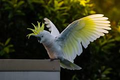 Perfectly executed Landing (- Jan van Dijk -) Tags: bird afternoon australia aves queensland cockatoo mygarden kaketoe sulphurcrested