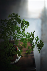 Adiantum and light (gol-G) Tags: color japan digital sony a7 carlzeiss alpha7 zeissplanar50mmf14 planar1450zk pkadapter ilce7 selectiveconceptualdofbokeh